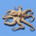Mosaikfliesen- Serie Pools - Octopus