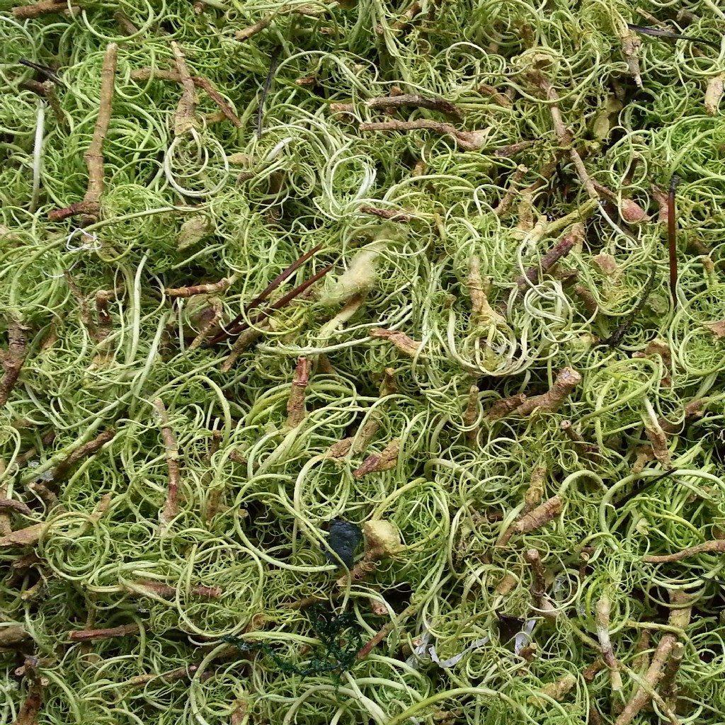 Curly Moos, auch Louisiana Moos genannt, mit gekräuselter und holziger Oberfläche aus Wandverkleidung